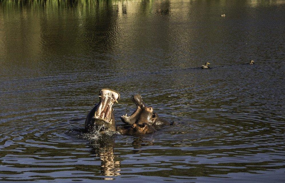 Flusspferde, vom E-Bike aus gesehen, Belvelo - Felix Willeke